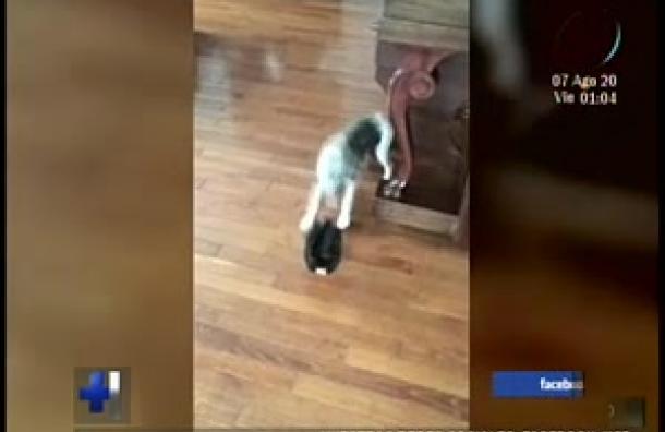 Un perro es grabado cuando intenta jugar con una gallina